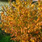 Corylus_americana_wild_ridge_catalog