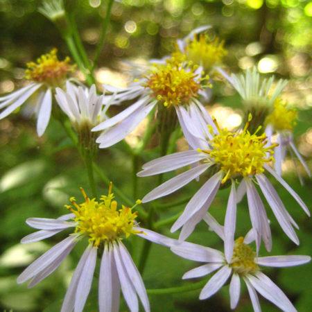Eurybia macrophylla catalog 2013