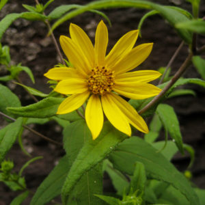 Helianthus divaricatus catalog 2013