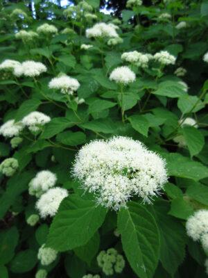 Wild Hydrangea Native Plant