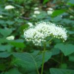 Hydrangea arborescens catalog 2013