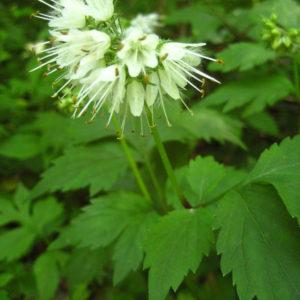Hydrophyllum virginianum catalog 2013