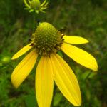 Rudbeckia laciniata catalog 2013