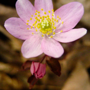 Thalictrum thalictroides catalog 2013