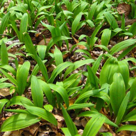 Allium_tricoccum_wild_ridge_catalog