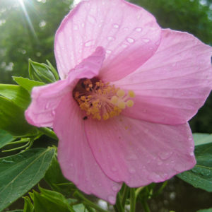 Hibiscus_moscheutos_wild_ridge_catalog