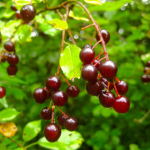 Prunus_virginiana-Web-6444