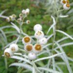 Anaphalis margaritacea 2015 Web