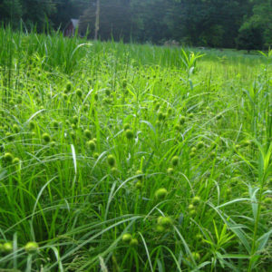 Carex squarrosa 2015 Web