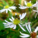 Eurybia divaricata 2015 Web