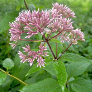 Eutrochium maculatum 2015 web