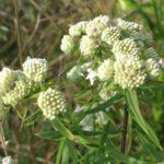 Pycnanthemum virginianum 2015 Web