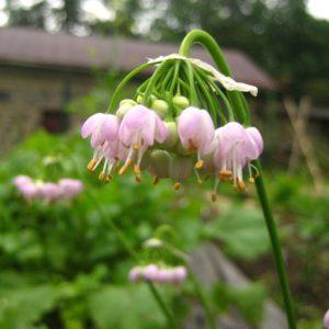 Allium cernuum Wild Ridge Catalog 2016