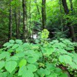 Aralia racemosa Wild Ridge Catalog 2016