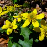 Catha palustris Wild Ridge Catalog 2016