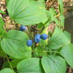 Caulophyllum thalictroides (1 of 1)