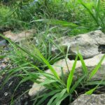 Eragrostis spectabilis Plant Catalog 2016 (1 of 1)