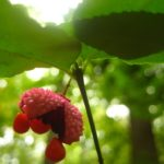 Euonymus americanus Wild Ridge Catalog 2016