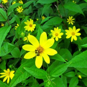 Helianthus decapetalus Wild Ridge Catalog 2016