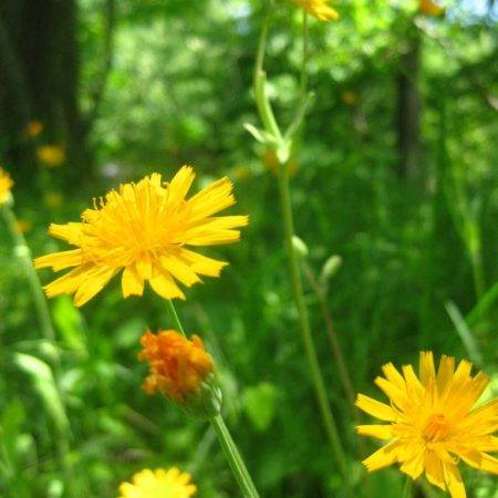 Krigia biflora Catalog (1 of 1)