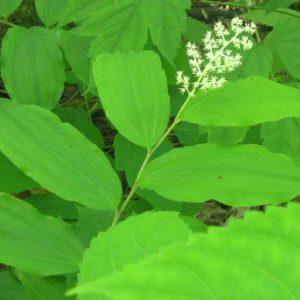 Maianthemum racemosum Plant Catalog 2016 (1 of 1)