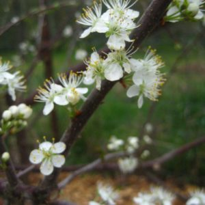 Prunus maritima Wild Ridge Catalog 2016