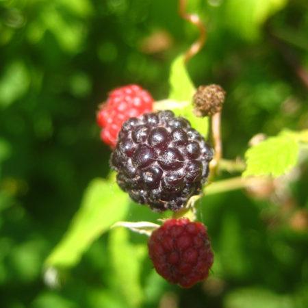 Rubus occidentalis wild ridge plants permaculture