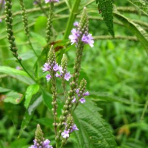 Verbena hastata Plant Catalog 2016 (1 of 1)