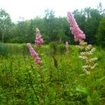 Spiraea_tomentosa_wild_ridge_catalog