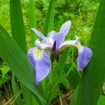 Iris versicolor wild ridge plants catalog 2016