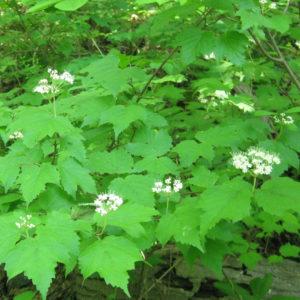Viburnum acerifolium Plant Catalog