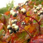Cornus amomum Plant Catalog-078