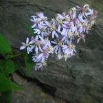 Symphyotrichum cordifolium Catalog 2016-001