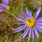 Symphyotrichum patens Catalog 2016-017