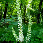 Actaea racemosa FRG-8134 web