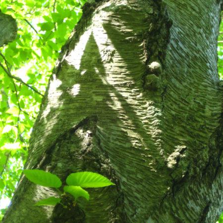 Betula lenta bark-071 web