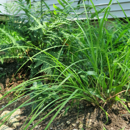 Carex swanii Plant Catalog-7945 web