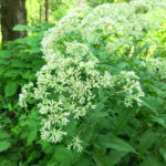 Eupatorium sessilifolium catalog 2016 web