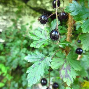 Ribes cynosbati Catalog 2016-4882 web