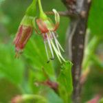 Ribes rotundifolium Catalog 2017-0478 web