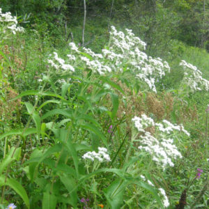 Eupatorium perfoliatum plant catalog 2017 (1 of 1)