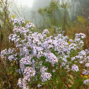 Symphotrichium cordifolium plant catalog 2017 (1 of 1)